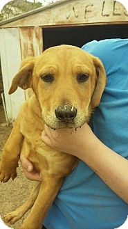 Hound (Unknown Type) Mix Dog for adoption in Horn Lake, Mississippi - ZCL Hound Dog Puppies