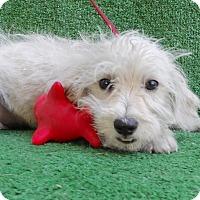 Adopt A Pet :: Fifi - San Diego, CA