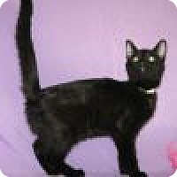 Domestic Shorthair Cat for adoption in Powell, Ohio - Nera