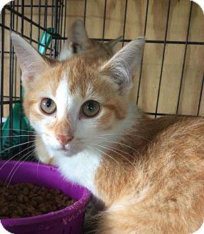 Domestic Shorthair Kitten for adoption in Breinigsville, Pennsylvania - Tanya