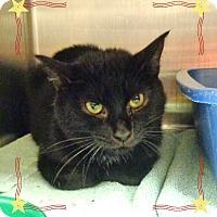 Domestic Shorthair Cat for adoption in Marietta, Georgia - STRETCH