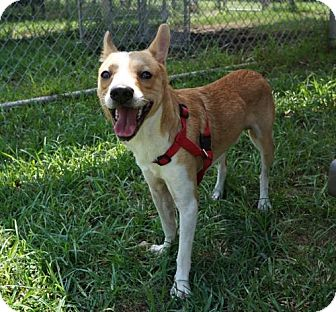 Basenji/Beagle Mix Dog for adoption in Houston, Texas - Morty
