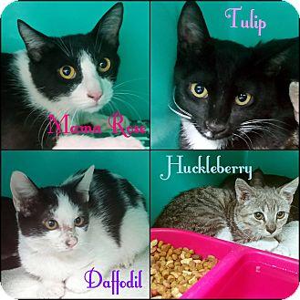 Domestic Shorthair Cat for adoption in California City, California - Mama Rose + 1