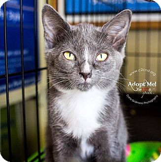 Russian Blue Kitten for adoption in Mooresville, North Carolina - A..  Shayla