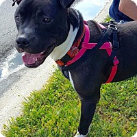 Pit Bull Terrier Mix Dog for adoption in Franklin, Indiana - Bubby