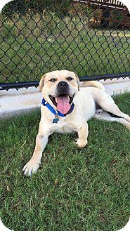 Labrador Retriever Mix Dog for adoption in Brattleboro, Vermont - Rockster