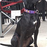 Labrador Retriever Mix Dog for adoption in Houston, Texas - Calli