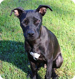 Labrador Retriever/Pit Bull Terrier Mix Dog for adoption in New York, New York - Dragon (MD)