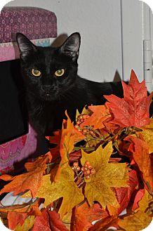 Domestic Shorthair Cat for adoption in Phoenix, Arizona - SHADE