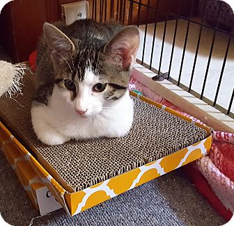 Domestic Shorthair Kitten for adoption in Little Falls, New Jersey - Carter (JT)