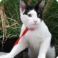 Domestic Shorthair Kitten for adoption in pasadena, California - OREO