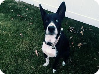 Border Collie Mix Dog for adoption in Evansville, Indiana - Yadi (Courtesy Listing from Alton, IL)