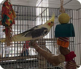 Cockatiel for adoption in Punta Gorda, Florida - Samson,Delihla,Sparky