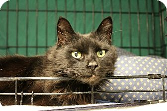 Domestic Longhair Cat for adoption in Warwick, Rhode Island - Tucker