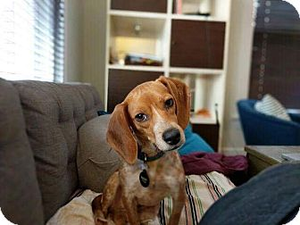 Beagle Mix Dog for adoption in Nyack, New York - Trudy