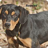 Adopt A Pet :: Rosalea-nice puppy-meet me - Glastonbury, CT