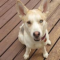 Adopt A Pet :: Macey - Baltimore, MD