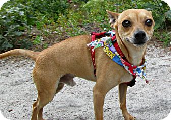 Chihuahua Dog for adoption in Forked River, New Jersey - Rocky