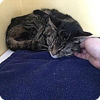 Adopt A Pet :: Simon - Lancaster, MA