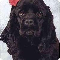 Adopt A Pet :: Lady - Tacoma, WA