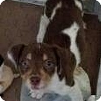 Adopt A Pet :: Clarissa - Phoenix, AZ