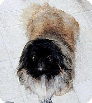 Pekingese Dog for adoption in New Smyrna beach, Florida - Taddy Tadpole