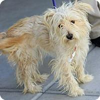 Adopt A Pet :: Felicity - non shed! - Phoenix, AZ