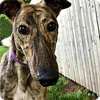 Adopt A Pet :: Stitch - Swanzey, NH