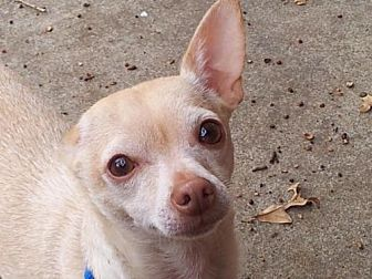 Chihuahua Dog for adoption in Fort Worth, Texas - Van Gogh