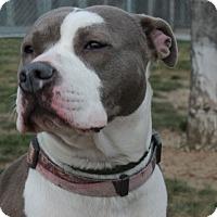 Adopt A Pet :: Macy D-68393 - Westampton, NJ