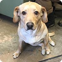 Adopt A Pet :: # 1 Copper URGENT! - Carrollton, OH