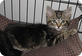 Domestic Shorthair Kitten for adoption in Gainesville, Virginia - Flynt