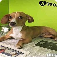 Adopt A Pet :: A390829 - San Antonio, TX