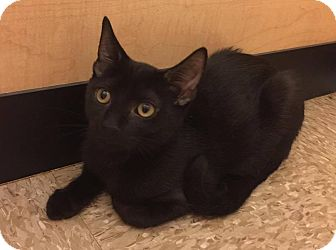 Domestic Shorthair Cat for adoption in Apex, North Carolina - Coalbie