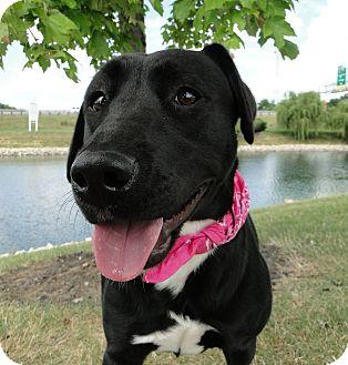 Labrador Retriever Mix Dog for adoption in Brattleboro, Vermont - Chloe