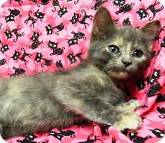 Domestic Shorthair Kitten for adoption in Columbus, Nebraska - Sadie