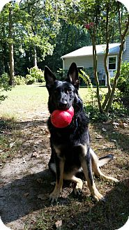 German Shepherd Dog Dog for adoption in Morrisville, North Carolina - Stellaluna