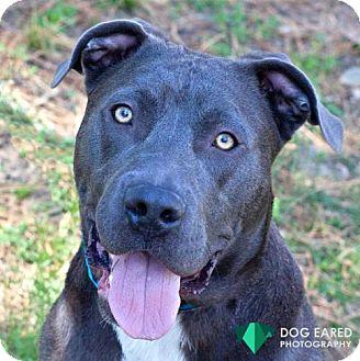Pit Bull Terrier Mix Dog for adoption in Boston, Massachusetts - Skylark
