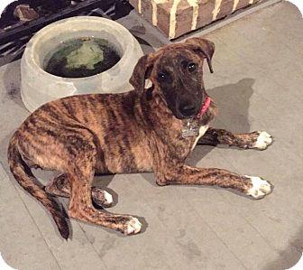 Emma | Adopted Puppy | Fort Atkinson, WI | Plott Hound ...