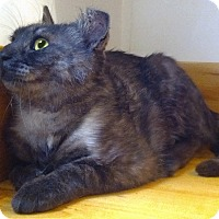 Domestic Shorthair Cat for adoption in Toronto, Ontario - Violet (RARE SMOKE)