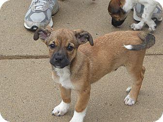 Sheltie, Shetland Sheepdog Mix Puppy for adoption in Memphis, Michigan - Waldo & Walter