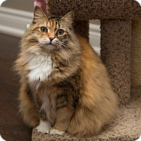Adopt A Pet :: Adley *declawed* - Toronto, ON