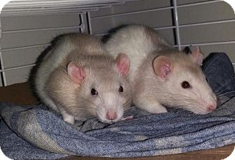 Rat for adoption in Mobile, Alabama - 6mth Beige Hooded Pair