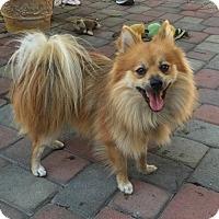 Adopt A Pet :: Poppit - Costa Mesa, CA