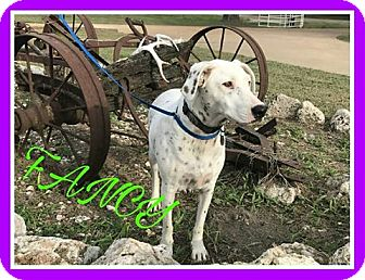Dalmatian Mix Dog for adoption in Fort Collins, Colorado - Fancy