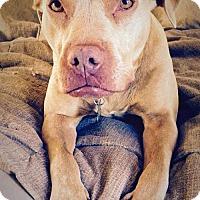 Pit Bull Terrier Mix Dog for adoption in Cedar Rapids, Iowa - Hazel