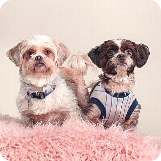 Shih Tzu Mix Dog for adoption in Pt. Richmond, California - BELLA