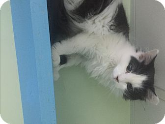 Domestic Mediumhair Kitten for adoption in Indianapolis, Indiana - Acorn