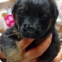 Adopt A Pet :: 11 PUPS - JACKIE - Colton, CA