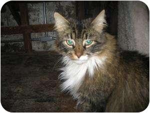 Domestic Shorthair Cat for adoption in Warminster, Pennsylvania - Lou
